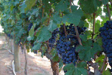 south-africa-delaire-stellenbosch-grapes