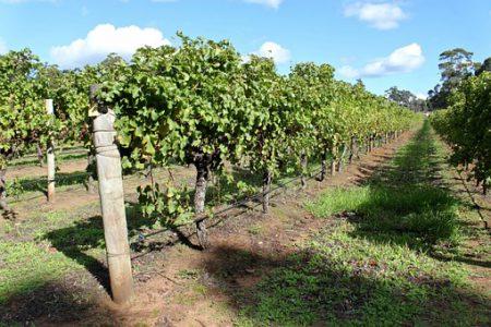 australia-vineyard