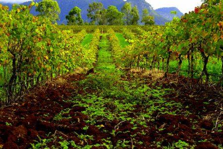 australia-Hunter-Valley -vines
