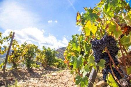portugal-douros-vines
