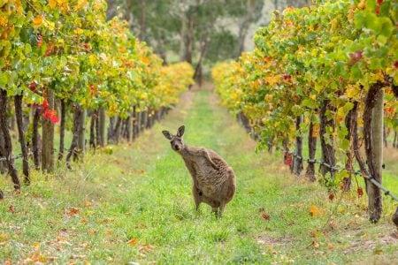 Australia-kangaroo-vineyard
