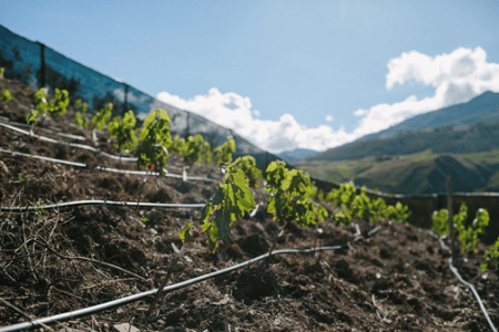 peru-Carahuasi-vineyard-high-altitude
