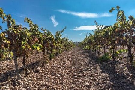 Spain rioja vine