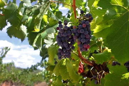 Spain wine grapes
