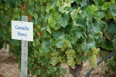 Spain -vine