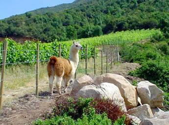 chile-lamas-montes