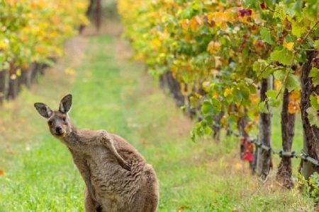kangaroo-vineyard-australia