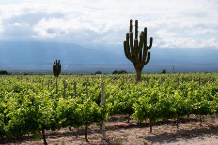 Argentina-cafayate-Vineyard-giant-cactus