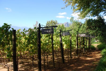 south-africa-vines