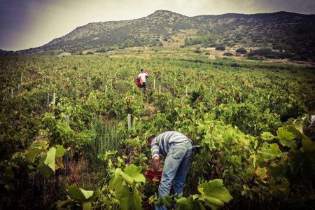 croatia-dubokovic-vineyard