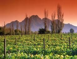 south-africa-vineyard-paarl