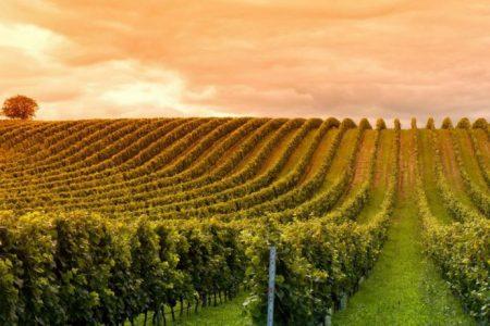 Uruguay-montevideo-vineyard