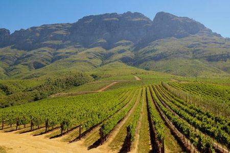 south-africa-stellenbosch-vineyard
