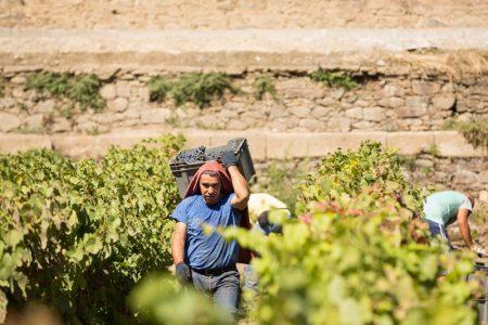 portugal-quinta-pacheca-harvest