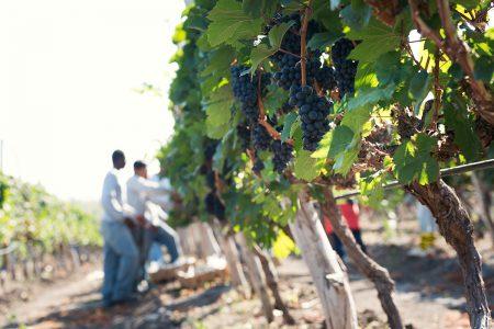 Wineyard in Ecuador