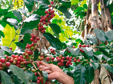 Ecuador coffee plantation