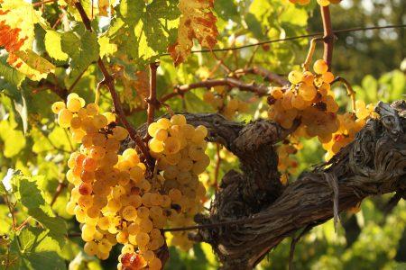 Yellow grape close up_slovenia