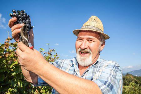 Mature winegrower harvesting black grapes_Slovenia