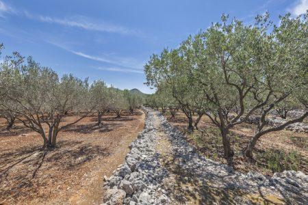 Croatia vines in Korcula Island