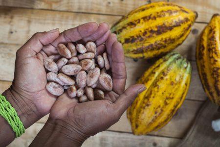 Ecuador_fresh_cocoa_bean