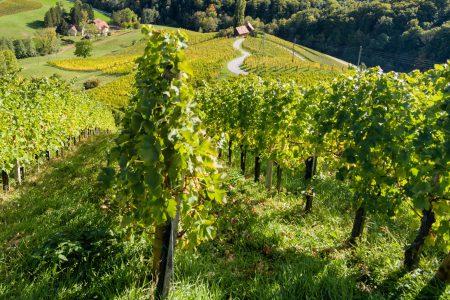 Famous Heart shaped wine road in Slovenia, vineyard near Maribor