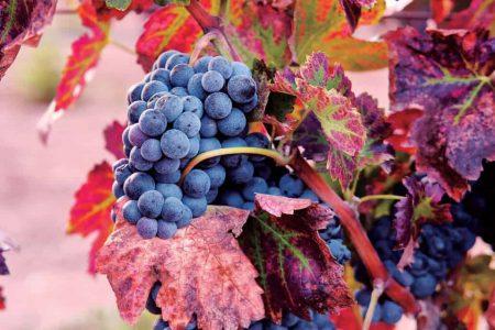 Mexico grapes La Redonda