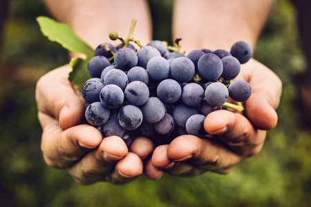 Mexico black Grapes harvest
